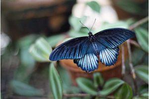 Les ailes de papillon peuvent-elles aider à détecter plus rapidement le COVID-19 ?